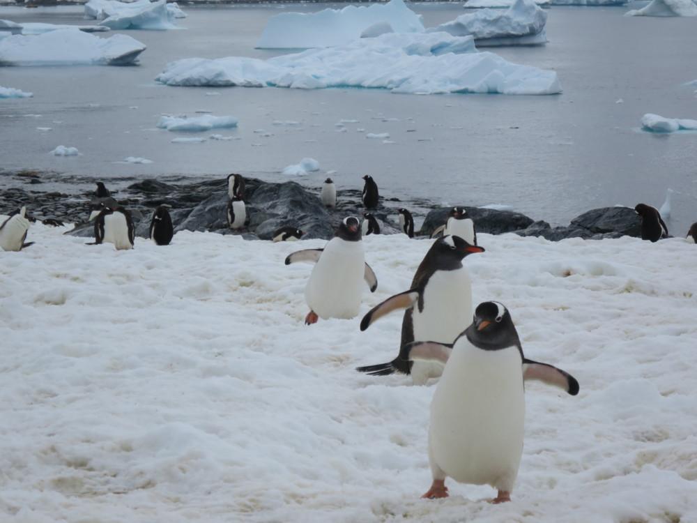 ペンギン|ゼンツーペンギン|南極上陸|南極クルーズ船|南極・南極上陸クルーズ旅行@ブループラネットツアー