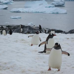 ペンギン ゼンツーペンギン 南極上陸 南極クルーズ船 南極・南極上陸クルーズ旅行@ブループラネットツアー