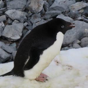 ペンギン アデリーペンギン 南極上陸 南極クルーズ船 南極・南極上陸クルーズ旅行@ブループラネットツアー