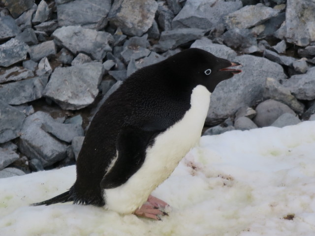 ペンギン|アデリーペンギン|南極上陸|南極クルーズ船|南極・南極上陸クルーズ旅行@ブループラネットツアー
