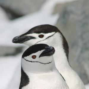 ペンギン ヒゲペンギン 南極上陸 南極クルーズ船 南極・南極上陸クルーズ旅行@ブループラネットツアー