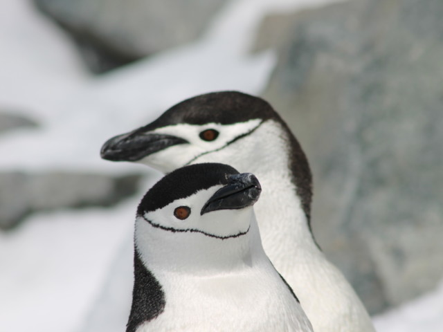 ペンギン|ヒゲペンギン|南極上陸|南極クルーズ船|南極・南極上陸クルーズ旅行@ブループラネットツアー