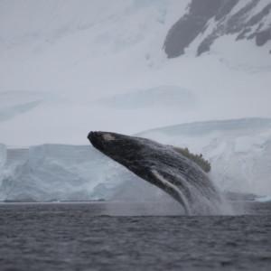 ザトウクジラ 南極のクジラ ゾディアッククルーズ 南極クルーズ船 南極・南極上陸クルーズ旅行@ブループラネットツアー