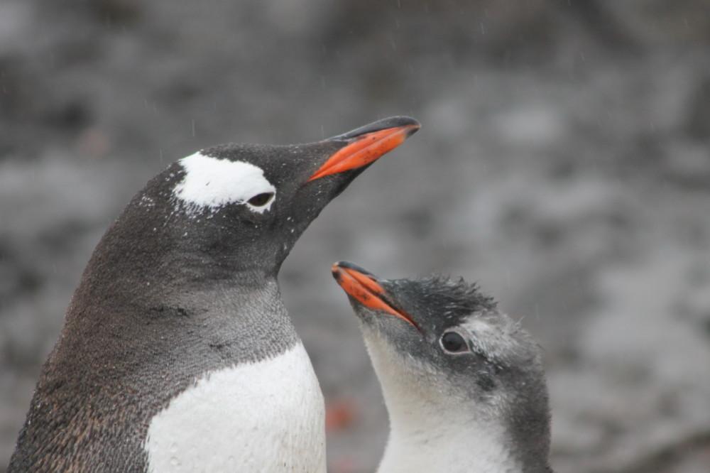 南極のペンギンの親子