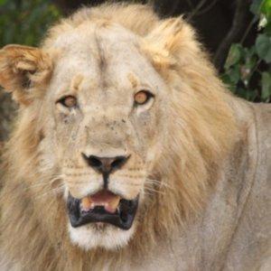 ボツワナ|チョベ国立公園|ライオン|南部アフリカ旅行@ブループラネットツアー