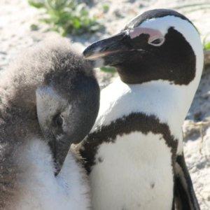 ボルダーズビーチ|ケープペンギン|南部アフリカ旅行@ブループラネットツアー