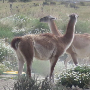 パタゴニアの動物 グアナコ