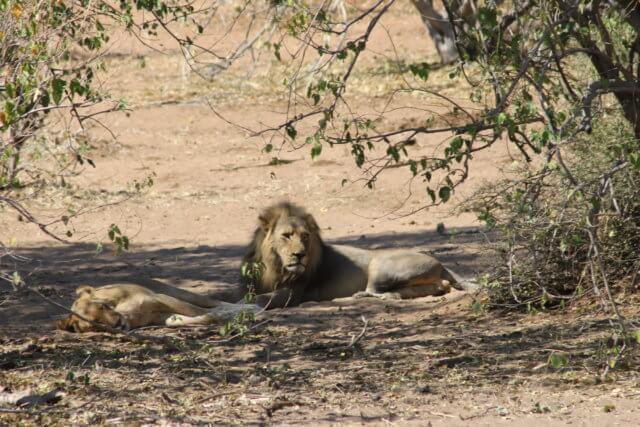 チョベ国立公園|ライオン|南部アフリカ旅行@ブループラネットツアー