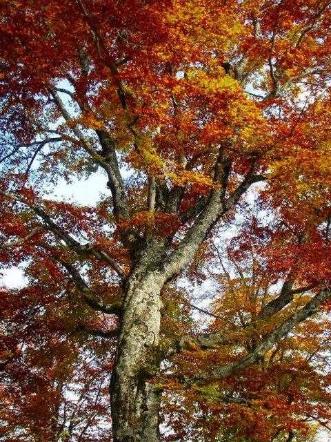 白神山地 紅葉のブナ林